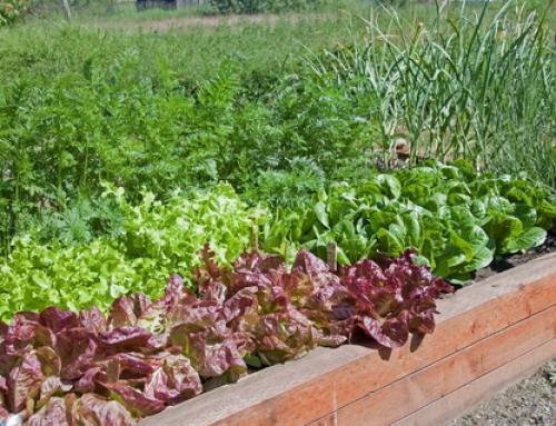 Hazai kertekben is termeszthető fűszerek- Fűszer kisokos I.