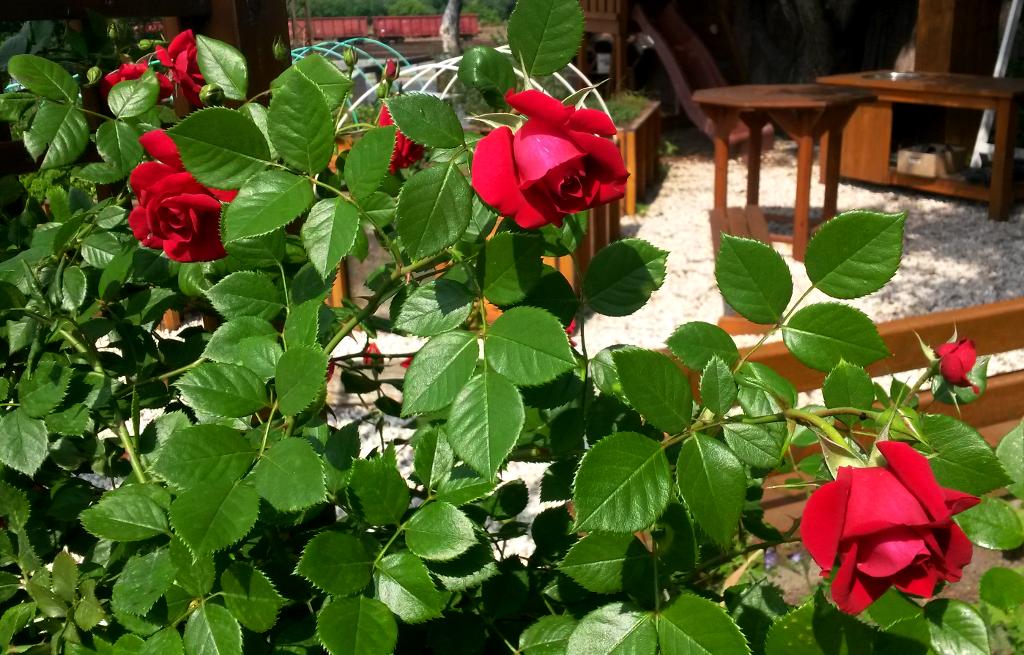 Rózsa az Iskolakertben